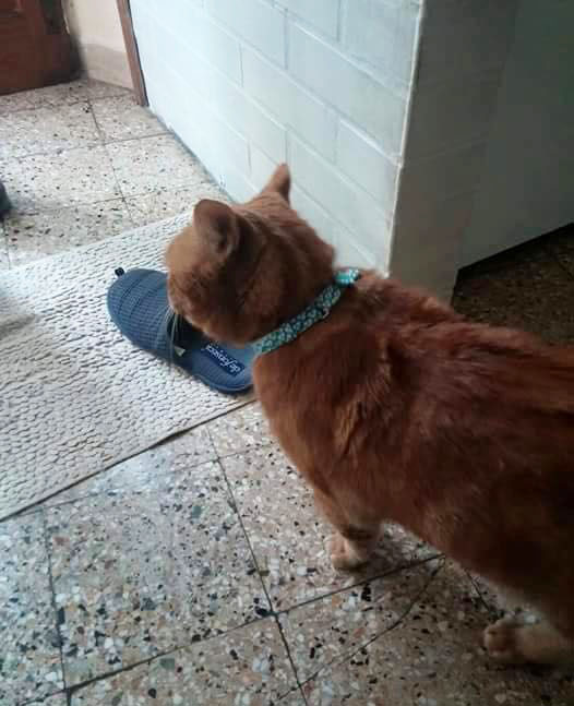 イタリア猫さんと首輪